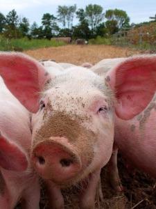 pigs-21272_640