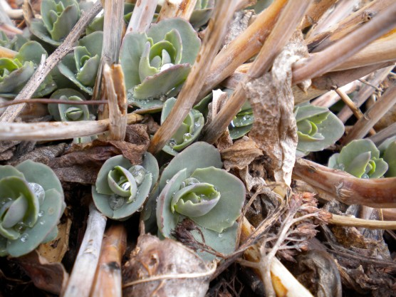 autumn joy sedum finds spring life